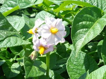ジャガイモの花.jpg