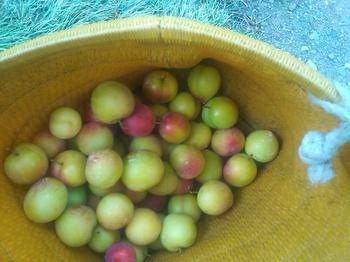 プラム収穫.JPG