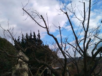 小梅の樹.JPG