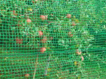 ネットとリンゴ.JPG