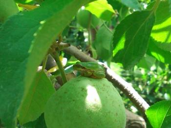 リンゴの実の上.JPG