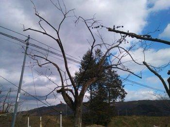 柿の樹.JPG